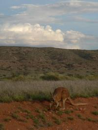 Kangourou au Cape Range