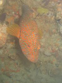 Coral Cob
