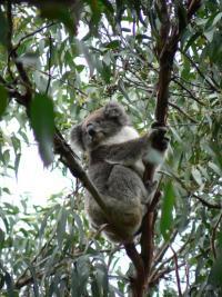 Cliffhanger le Koala