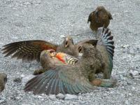 Une bataille de Kea juveniles