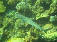 Requin sur la Grande Barrière de Corail