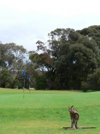 Kangourou Golfeur