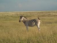 Zèbre namibien